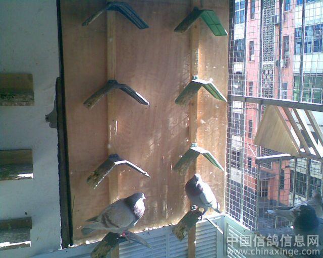 我的阳台鸽舍--中国色彩信息网相册室内设计中信鸽的重要性及意义图片