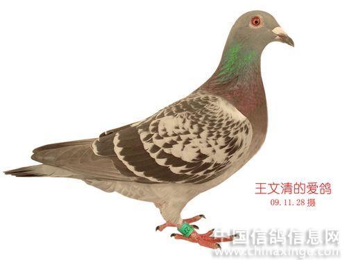 鸭子的尾巴图片手工制作