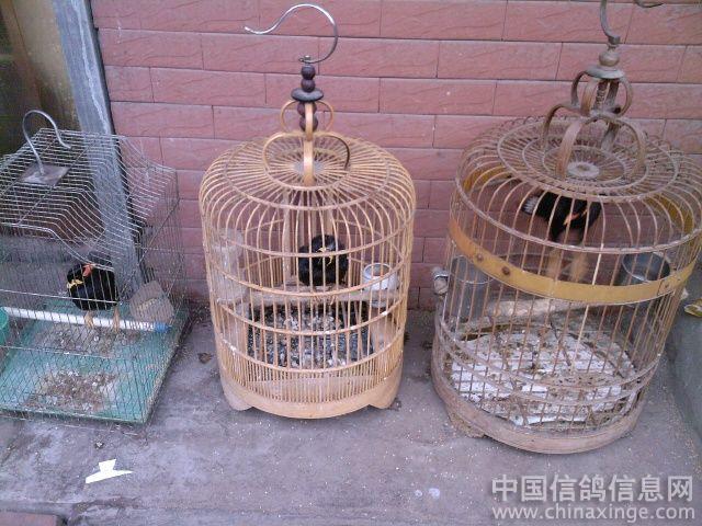 准备养鸽子,关在笼子里,要养多久,放它出来飞来飞去才最合适呢图片