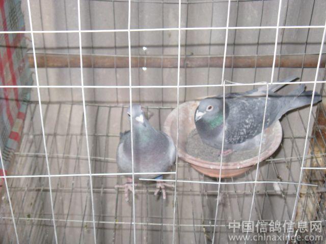 台湾海翔赛鸽6关都没比过 -新的一年