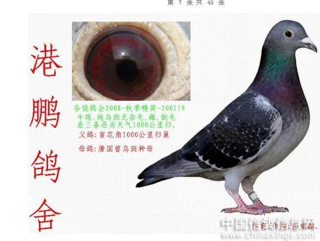 红狐--中国信鸽信息网相册