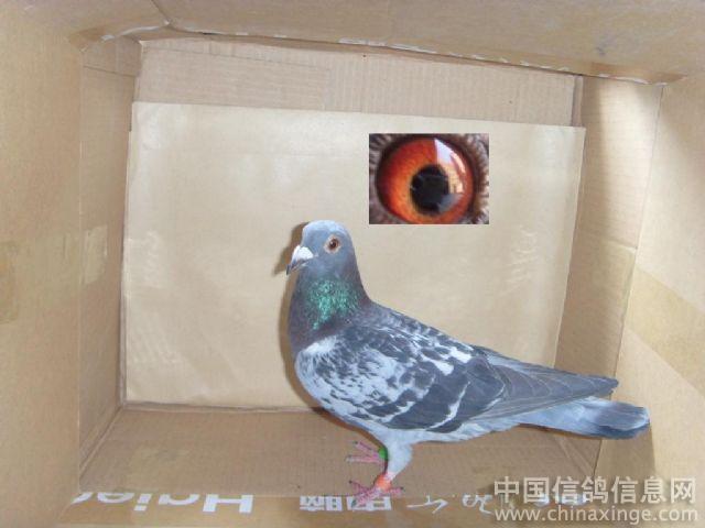 可爱的家伙--中国信鸽信息网相册