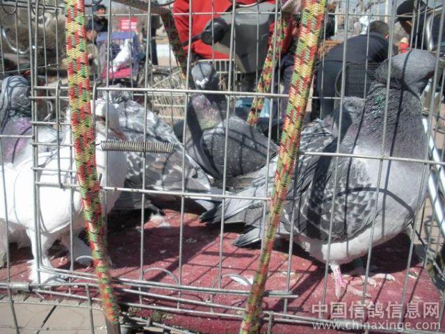 振兴沈阳老工业基地 铁西新区赛鸽市场 高清图片