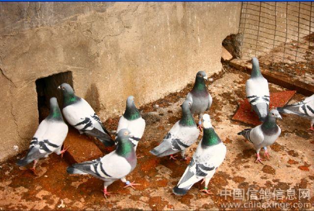 庆贺鸽舍--中国相册信息网视频色阿宝信鸽图片