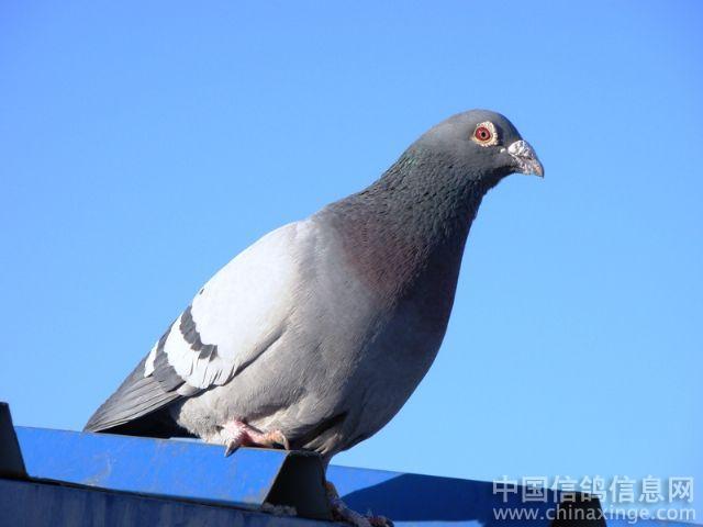 中国国旗 白鸽
