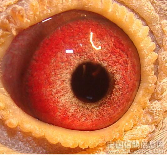 赛鸽的眼睛好坏图解