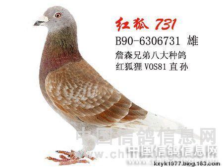 詹森红狐信鸽翅膀_詹森信鸽--中国信鸽信息网相册