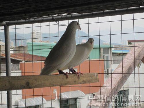 可爱的鸽子们