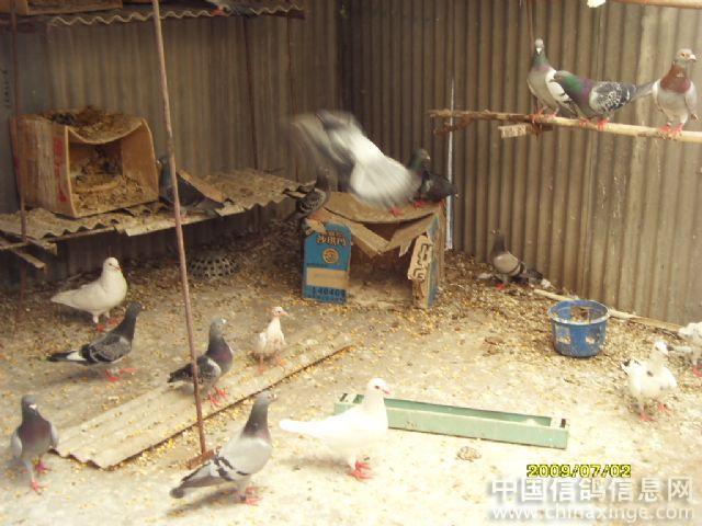 鸽舍--中国视频信息网信鸽dvo相册图片