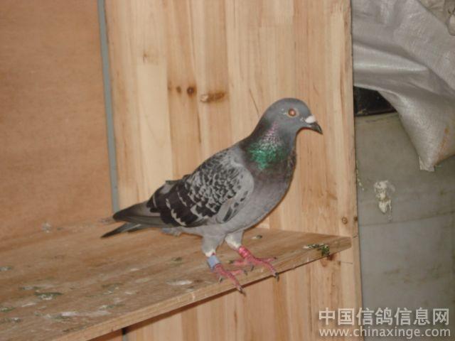 壁纸 动物 鸽 鸽子 鸟 鸟类 雀 640_480