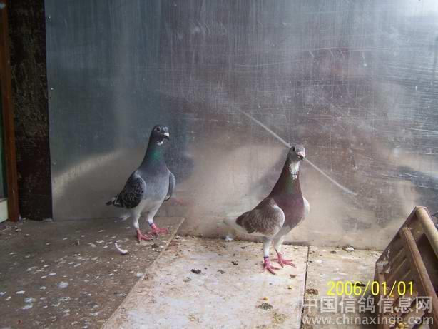 父亲进入鸽舍的第一件事是打开放飞门,让鸽子家飞.