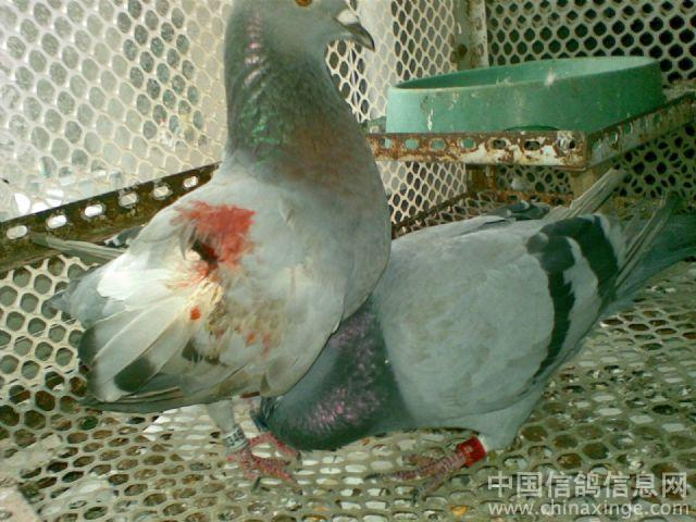 动物鸽鸟类鸟鸽子640_480蓝燕蝴蝶之吻百度云图片
