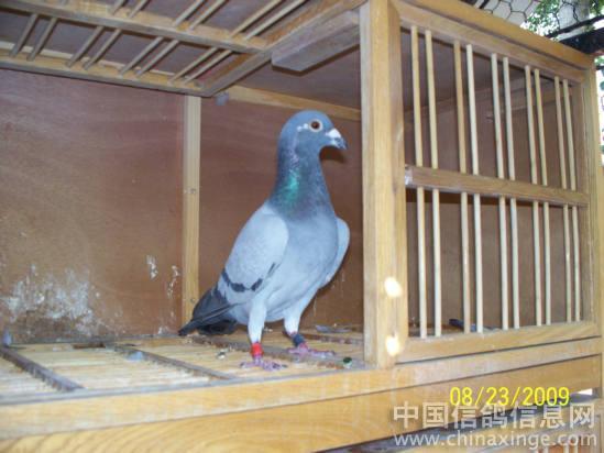 2008年第一次送鸽子去公棚比