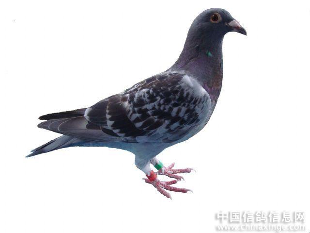 图片处理 中国信鸽信息网相册 -图片处理图片