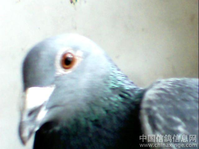 好鸽子图片