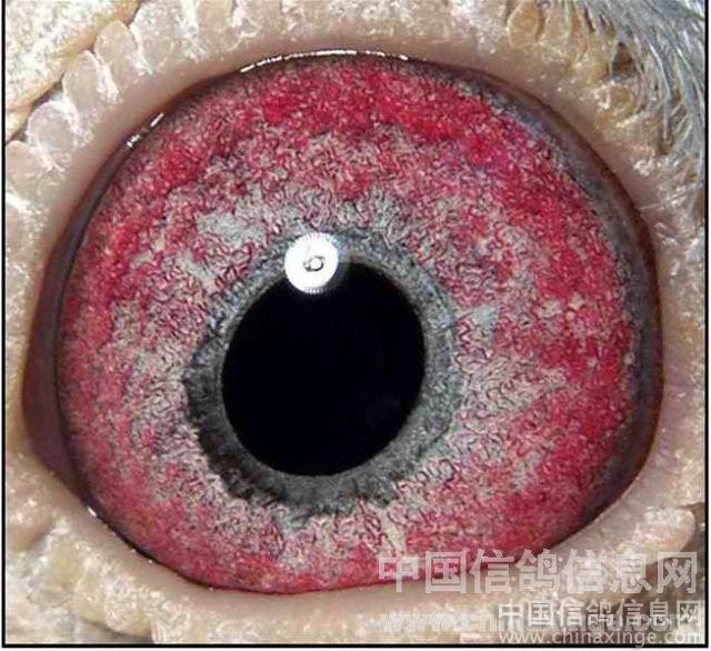 信鸽眼解刨图_简单的眼睛结构图眼睛的结构图 眼睛的素描结构图6