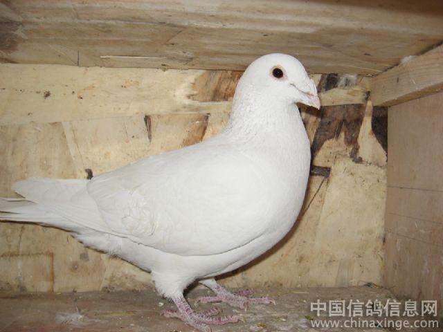 雨点白眉和村松白 ---中国信鸽信息网相册图片
