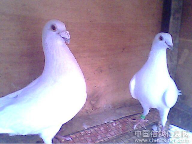 军翔鸽舍--中国相册信息网信鸽视频裤舞蹈黑图片