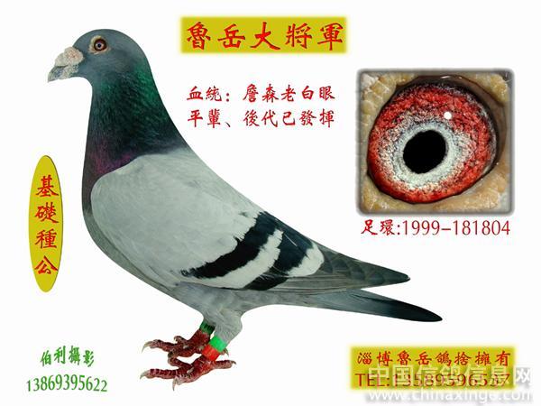 詹森25羽种鸽照片