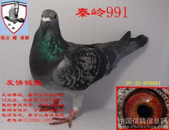 鸽眼写真--中国信鸽信息网相册