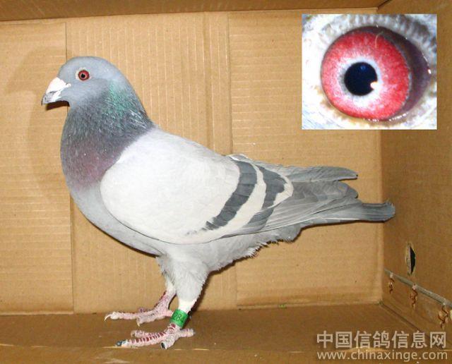 鸽舍图片-信鸽图片