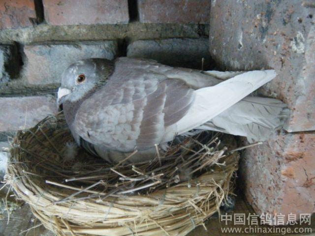 新照 中国信鸽信息网相册 -新照图片
