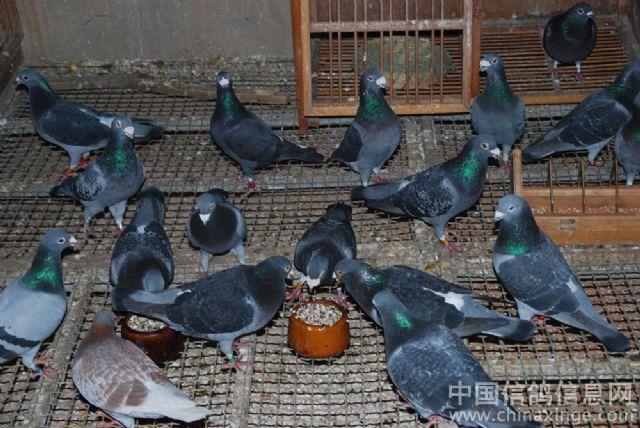 天才家族 传奇名鸽二名母_日志_福州巅峰鸽舍