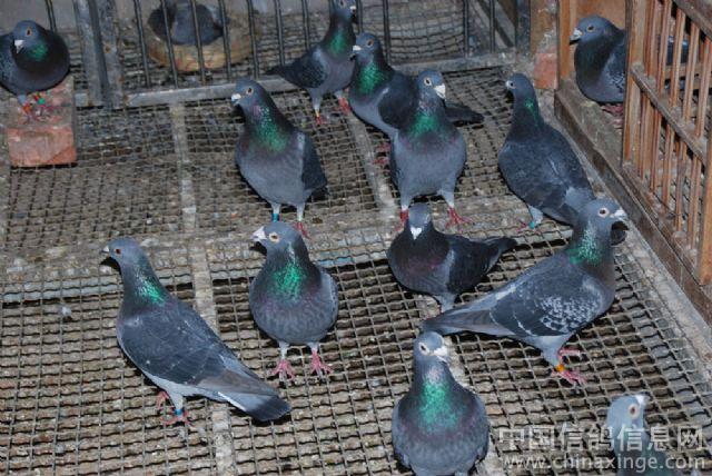 动物 鸡 640_428