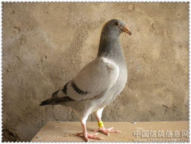 幼交中国_交公棚的幼鸽--中国信鸽信息网相册