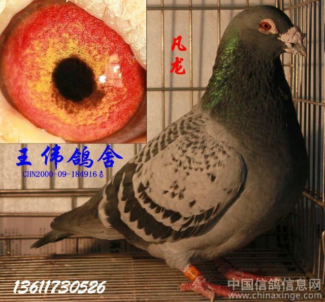 王伟信鸽 种鸽