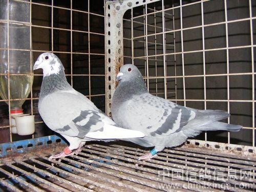 种鸽 中国信鸽信息网相册 -种鸽图片
