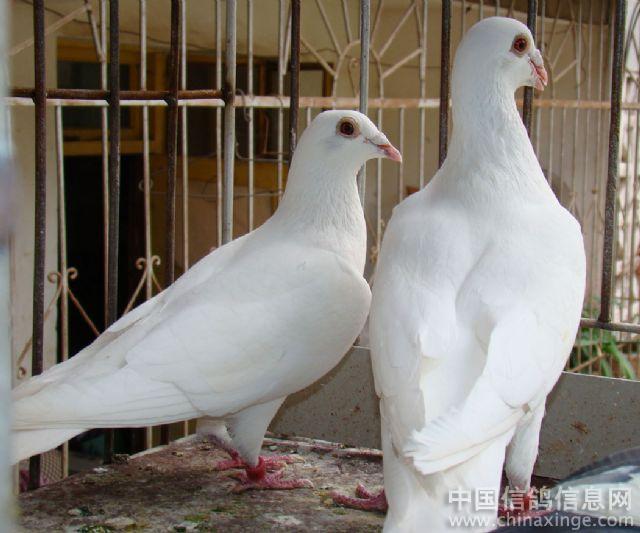 鸟类鸽鸽子鸟双面640_533coach蜜蜂动物托特包图片