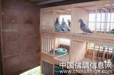 老泰山回血鸽--中国信鸽信息网相册