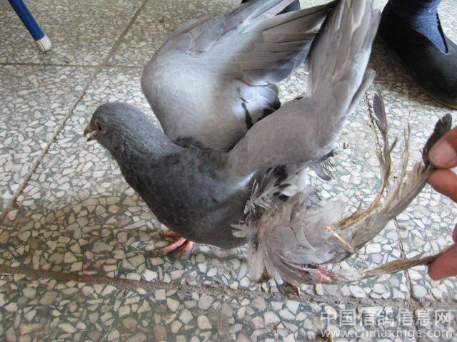 中华信鸽网名家讲坛 邓文敏 关于种鸽的鉴别 引进 配对 延续,及幼鸽的