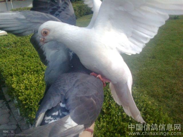 在公园里遇到的可爱的鸽子