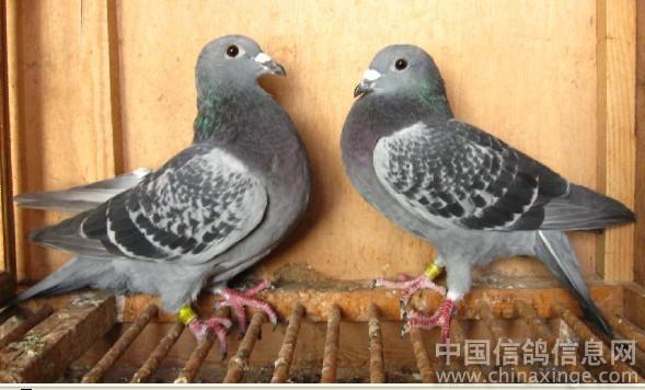 吴淞鸽--中国信鸽信息网相册