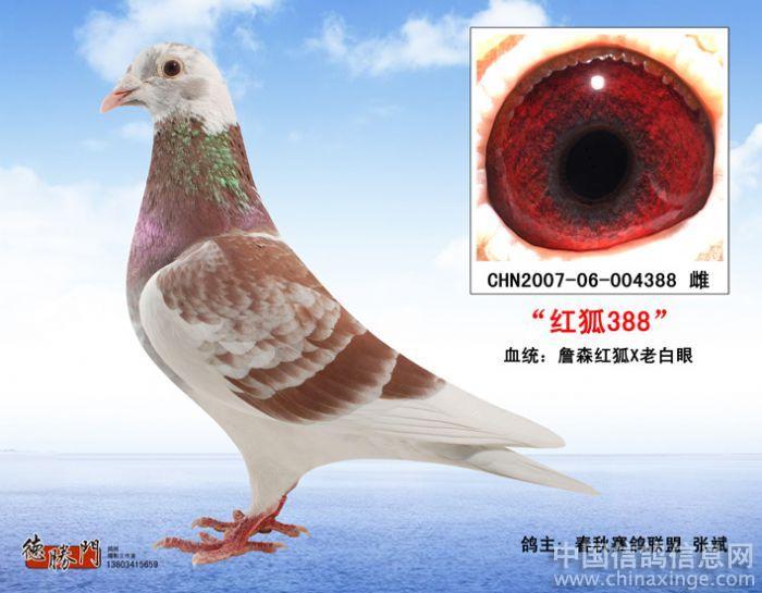 血统:詹森红狐x老白眼图片