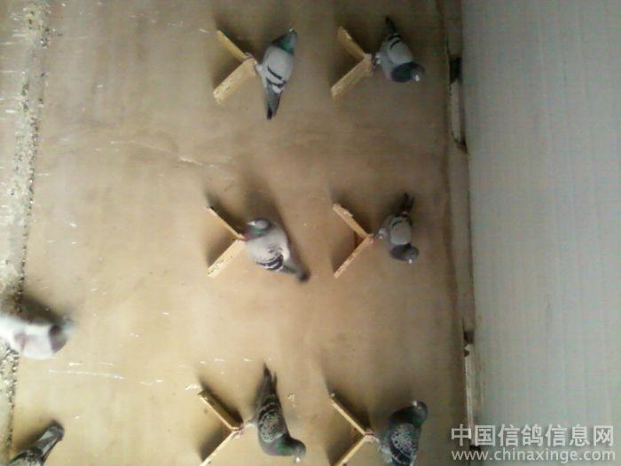纯手工打造的跳笼安装完毕--中国信鸽信息网相册