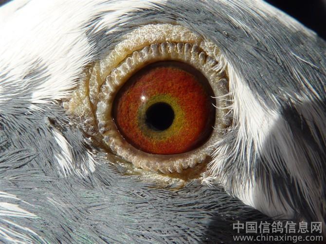 羽雄鸽.羽色:雨点白条,这是它的眼睛.-小小狗笼鸽舍鸽眼图片