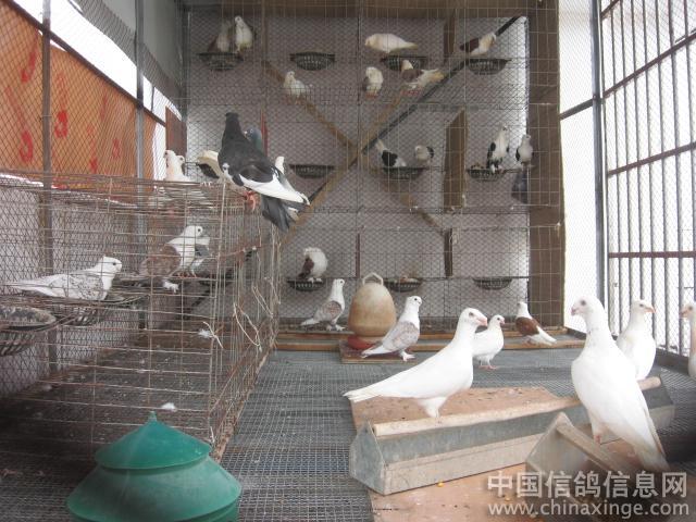 鸽棚设计图片,鸽棚,鸽棚条窗,信鸽鸽棚跳笼建造图片图片