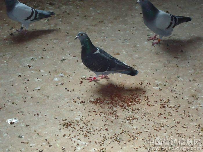 八月十五自家--中国信鸽信息网相册