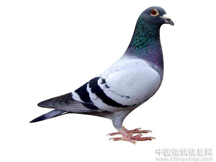 动物鸽鸟类事件图示鸟教学700_525深圳鹦鹉鸽子图片