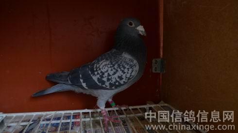 --中国信鸽信息网相册图片