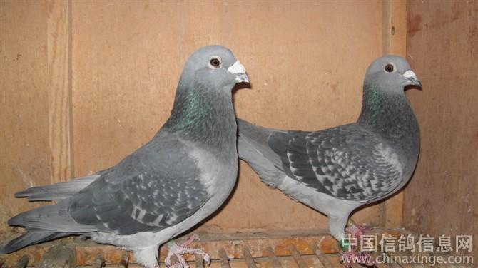 最好的吴淞系信鸽图片下载分享; 2011年吴淞系第一配对;