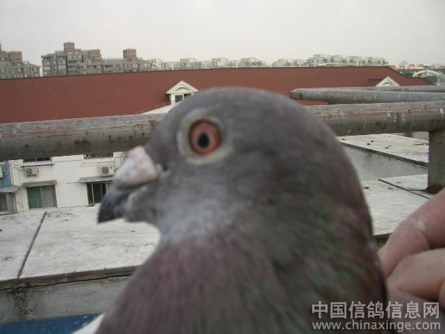 园-铭鸽展厅-信鸽中国www.xingechina.c 看眼沙配对可以吗【第二对