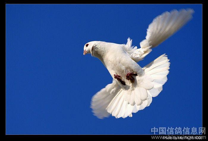 枝飞翔的鸽子的简笔画