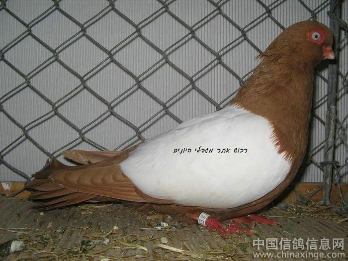 时间:2010-12-18 20:43:00 真的很像斑鸠,没有我国的观赏鸽品种多