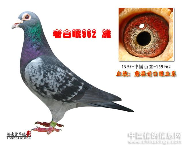 信鸽詹森配对种鸽图片 怎么挑选种鸽眼志