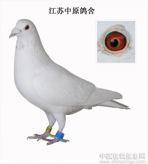 鸟类鸽大象鸟动物600_663身高鸽子大约多少米图片