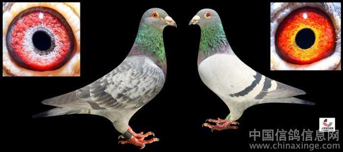 鸽子吊脚套制作图解